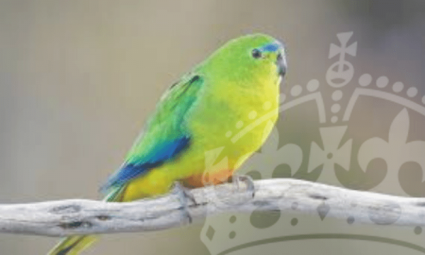 AVIARY BIRDS
